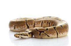 Spinnen-Kugel-Pythonschlange stockbilder