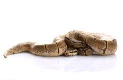 Spinnen-Kugel-Pythonschlange stockfoto