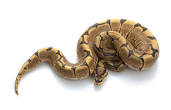 Spinnen-Kugel-Pythonschlange stockfotos