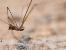 Spinnen-langes Bein im alten hölzernen Lizenzfreie Stockbilder