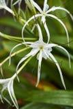 Spinnen-Lilien Stockbilder