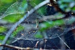 Spinnen met Spin het netto proberen om vliegen op te sluiten Royalty-vrije Stock Fotografie