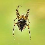 Spinnen mit einem Kreuz Lizenzfreie Stockbilder