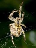 Spinnen-Nahaufnahme Lizenzfreie Stockfotos