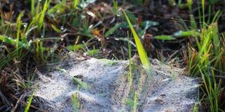 Spinnen-Netz auf Tipp des Grases Stockfoto