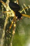Spinnen-Papa-Fliege Lizenzfreie Stockfotos
