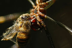 Spinnen-Papa-Fliege Lizenzfreie Stockfotografie