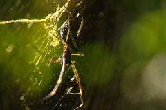 Spinnen-Papa-Fliege Lizenzfreies Stockfoto