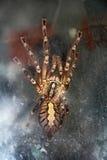 Spinnen-Tarantel Lizenzfreies Stockfoto