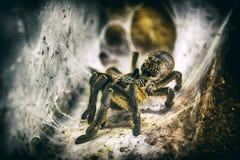 Spinnen-Tarantel, der auf Netz sitzt stockfoto
