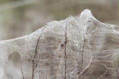 Spinnen und Blätter von Spinnennetzen auf Vegetation nach Fluten Stockfoto