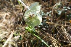 Spinnen undSchmetterling im Otternhagener hed Royaltyfria Bilder
