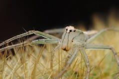 Spinnen-Weiß auf Dorn stockbild