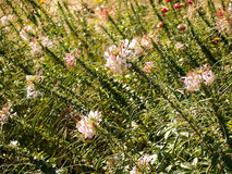 Spinnenblume Stockfotos