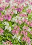 Spinnenblume oder Cleome hassleriana Stockfotos