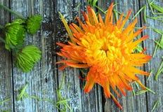 Spinnenchrysanthemenblumen schließen oben mit den losen Blumenblättern lizenzfreie stockfotos