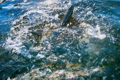Spinnende Fischköderfischenforelle in den Seen von Skandinavien Stockfoto