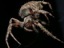 Spinnende Spinne Brown-Kugel mit schwarzem Hintergrund lizenzfreies stockbild