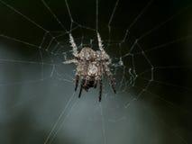 Spinnende Spinne der kleinen stacheligen Kugel im Netz mit schwarzem Hintergrund Stockbild