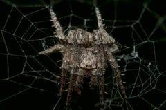 Spinnende Spinne der kleinen stacheligen Kugel im Netz mit schwarzem Hintergrund Lizenzfreie Stockfotografie