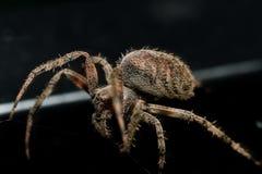 Spinnende Spinne der Kugel breitet Netznahaufnahme mit schwarzem Hintergrund aus stockfoto