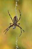 Spinnenessen stockfoto