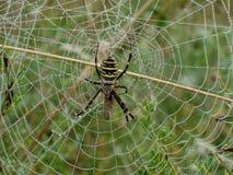 Spinnenfleischfresser, der sein Netz von Fäden und von Tau vorbereitet, um für Insekten morgens zu jagen stockfotografie