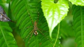Spinnengriff sein Opfer und Bewegung des Vorderbeins stock video