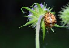 Spinnenkreuzfahrer Araneus Stockbild