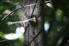 Spinnenkreuzfahrer auf Spinnennetz im Sommerwald lizenzfreie stockfotos