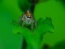 Spinnenmakro Stockfotografie