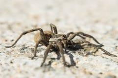 Spinnenmakro lizenzfreie stockfotografie