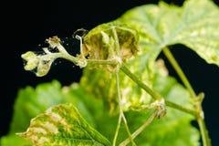 Spinnenmilbe schmarotzt auf den kranken und trockenen Traubenblättern, lokalisiert auf schwarzem Hintergrund stockfotografie