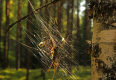 Spinnennetz auf Birke Stockbild