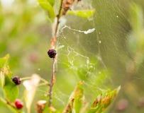 Spinnennetz auf einer Anlage in der Natur Lizenzfreie Stockfotos