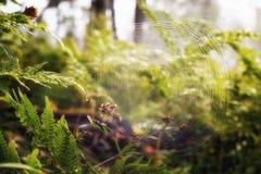 Spinnennetz früh morgens Stockbild