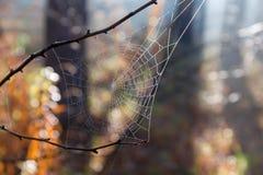 Spinnennetz im Herbstwald mit Taunahaufnahme lizenzfreie stockbilder