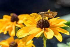 Spinnennetz-Kapitän-Schmetterlings-trinkender Nektar von einer Schwarzes gemusterten Susan Lizenzfreie Stockfotos