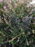 Spinnennetz mit Morgentau stockfoto