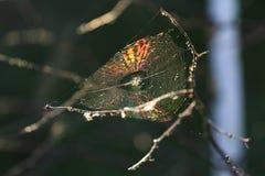 Spinnennetz mit Regenbogenreflexion stockfotos