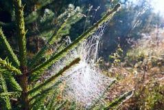 Spinnennetz mit Tautropfen auf einem Fichtenzweig lizenzfreie stockbilder