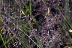 Spinnennetz mit Tropfen des Taus Lizenzfreie Stockfotografie