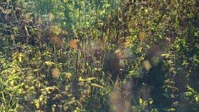 Spinnennetze auf dem Gras beeinflußt und schimmert im Sonnenlicht stock footage