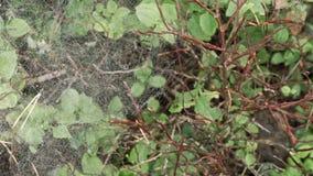 Spinnennetze in den Büschen stock footage