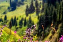 Spinnennetzgebirgsblumen lizenzfreie stockfotografie