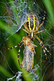 Spinnenopfer Stockbilder