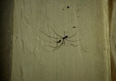 Spinnenschatten: Vati Longlegs-Spinne, Holocnemus-plochei stockfoto