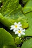 Spinnenwasserlilie. lizenzfreies stockfoto