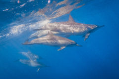 Spinner-Delphin lizenzfreie stockbilder