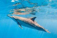 Spinner-Delphin stockfotos